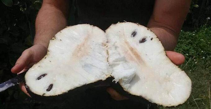 fruto trata o câncer